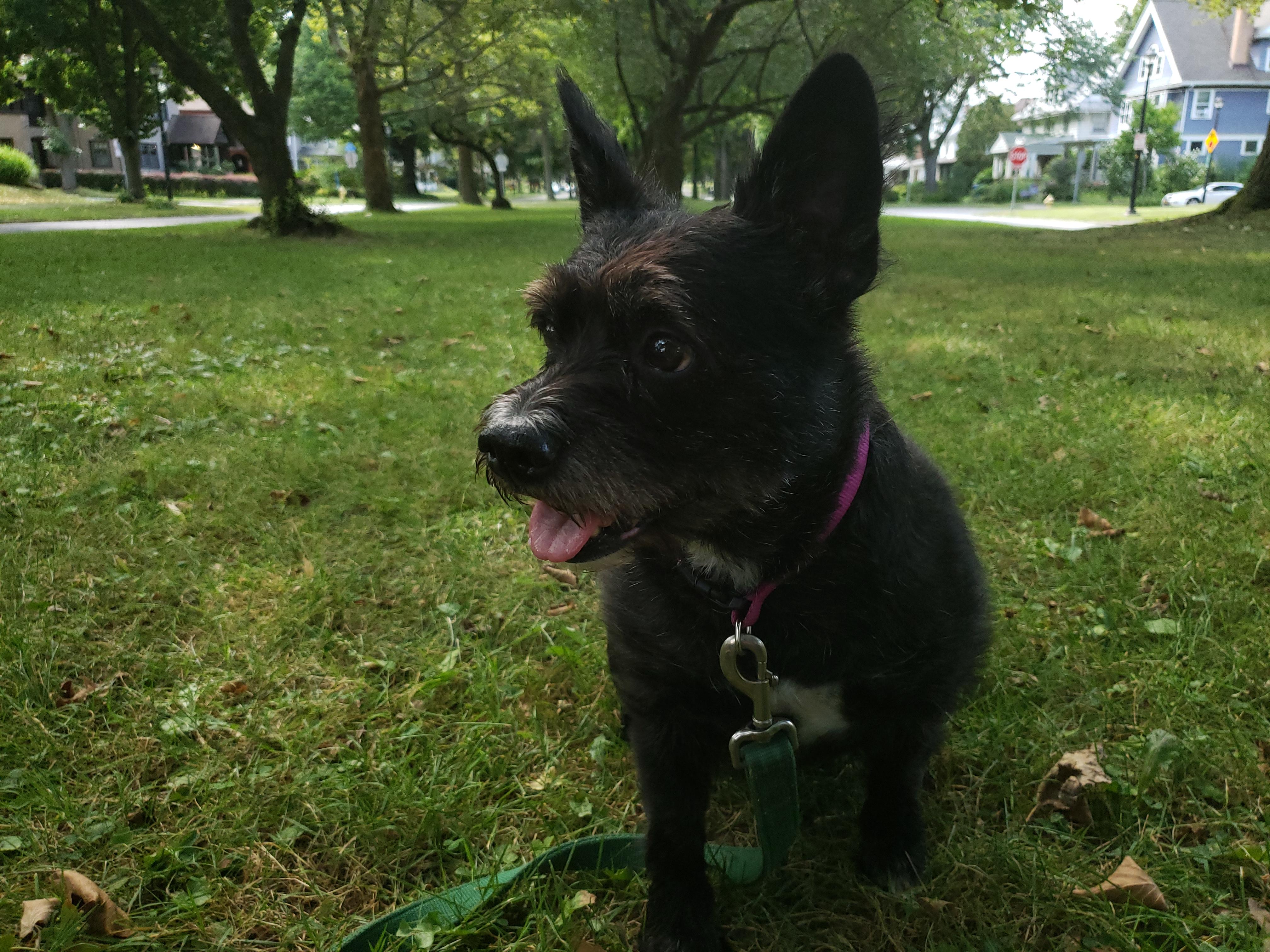 West highland Boston Terrier Mix